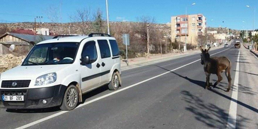 Diyarbakır'da başıboş gezen eşek sürücülere zor anlar yaşattı