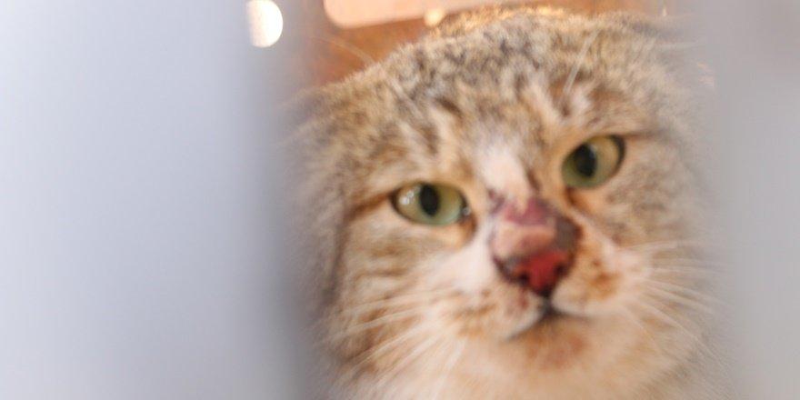 Siirt'te tuzağa düşen yaban kedisi doğaya salındı