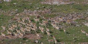 'Urfa'nın ceylanları' dağlarda daha çok gezecek