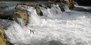 Uçan balıkların göçü başladı