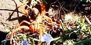 Diyarbakır'da dev örümcek paniğe neden oldu
