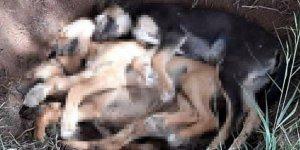 İddia: 10 köpek zehirlendi, 7'si öldü 3'ü tedavi altına alındı
