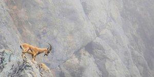 Tepkiler sonuç verdi, 'dağ keçisi avı' ihalesi iptal edildi