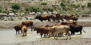 Muş'ta aşırı sıcaklar nedeniyle hayvanlar günde 3 defa suya giriyor