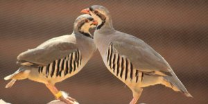 Avcılar Derneği Başkanı: Keklik avlayanları bize bildirin