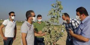 Mardin'de fıstık üretimine rağbet artıyor