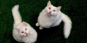 Van kedisinin neslinin korunması için çalışmalar sürüyor