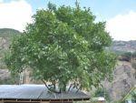 Asırlık ağacı kesmemek için evi ağacın etrafına yaptırdı