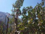 Hakkari'de Antep fıstığı hasadı