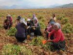Organik kuru fasulyenin hasadı yapılıyor
