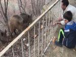 Yaban domuzları şehre inmeye devam ediyor