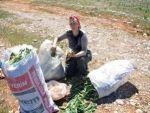 Doğal antibiyotik 'gulik otu' kadınların ekmek kapısı oldu