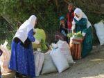 Yabani ot köylülerin ekmek kapısı oldu