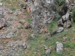 Karınlarını doyurmak isteyen dağ keçilerinin tehlikeli yolculuğu