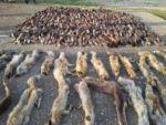 Kargo aracından yüzlerce hayvan derisi çıktı