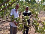 Domuz sürüleri üzüm bağı ve fıstık ağaçlarına dadandı