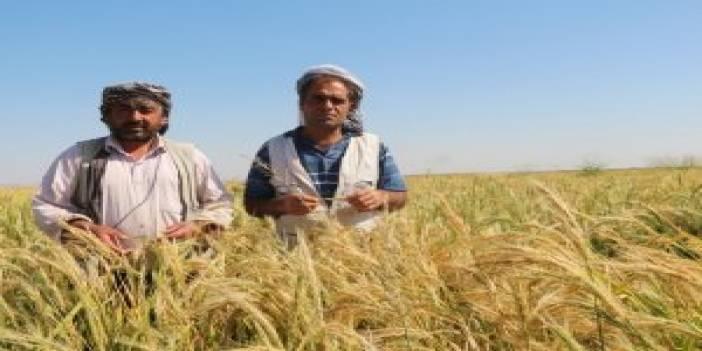 Karacadağ'ın incisinde hasat vakti yaklaştı