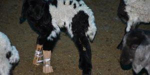 Keçinin ayağını alçıya aldı