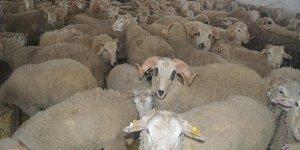 '300 damızlık koyun alana asgari ücret verilecek'