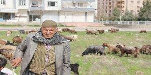 84 yaşında hem çoban hem berci