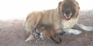 Kangal köpeği, kediyi emziriyor
