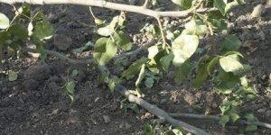 Domuzlar fıstık ağaçlarına saldırdı