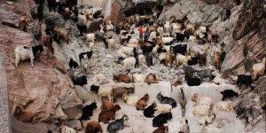 Kayalıktan atlayan koyun ve keçi sürüsü telef oldu