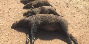 Siirt'te domuz katliamı!