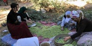 Yağmur zeytin üreticilerini sevindirdi