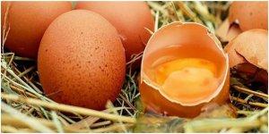 Bu tavuklar 'Kanser ilacı' yumurtluyor