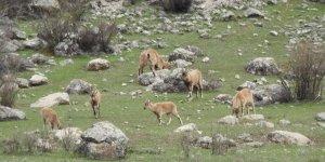 Tunceli'de dağ keçileri sürüsü