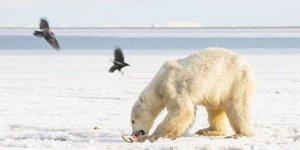 Kutup ayısı buzda sürüklenerek 700 kilometre uzaktaki köye indi