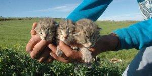 Diyarbakır'da 3 yavru leopar görüldü