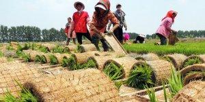 Bilim insanları: Pirinç tüketimi obeziteyi azaltabilir