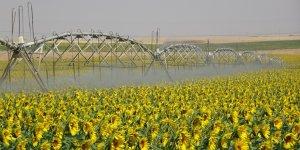 Ceylanpınar'da tarlalar sarıya boyandı