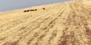 VİDEO- Diyarbakır'da domuz sürüsü köylere dadandı