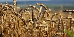'Rusya,  toplamda 3.77 milyon ton tahıl ihraç etti'