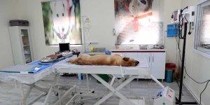 Mardin'de 150 hayvan ameliyat edildi