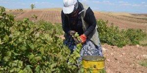 Ergani'de üzüm hasadı başladı