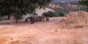 Tunceli'de yaban domuzları görüntülendi