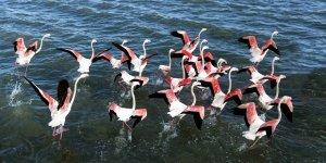Van Gölü'nde flamingoların dansı