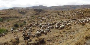 Muş'ta yayla yasağı kalktı, hayvancılık canlandı