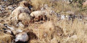 Gaziantep'te sürüye kurt daldı: 31  küçükbaş hayvan telef oldu