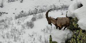Dersim'de dağ keçilerini vuran baba-oğul yakalandı