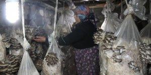 Vanlı kadınlar evlerinde mantar üreterek memur maaşı kazanıyor