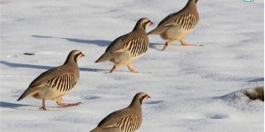 Tarım ilaçları yaban kuşlarını tehdit ediyor!