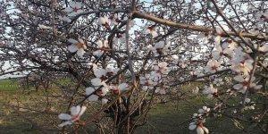 Silvan'da badem çiçekleri