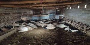 Tilkinin girdiği ahırda 44 koyun öldü