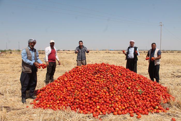 satamadigi-tonlarca-domatesi-tarlaya-doktu-001.jpg