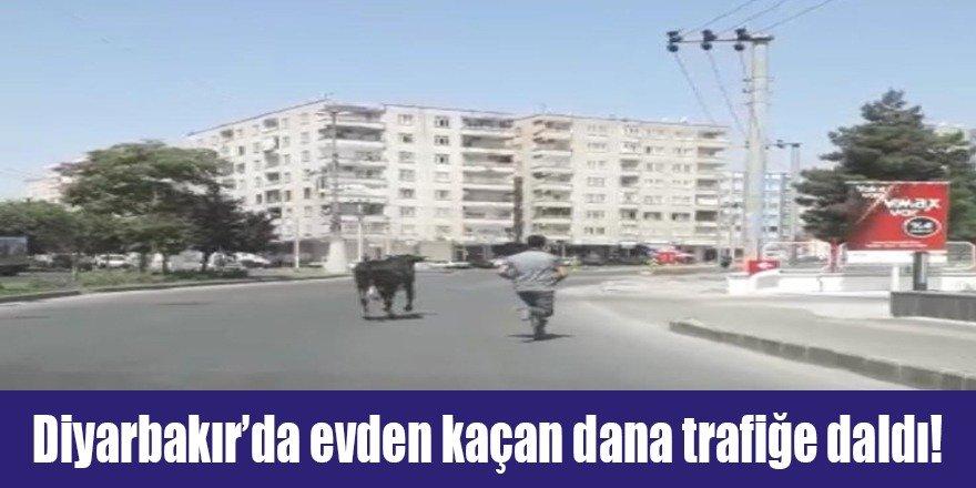Diyarbakır'da evden kaçan dana trafiğe daldı!